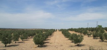 Olive Groves, row upon row of olive trees