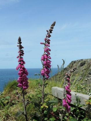 Flora Fauna on the Coastal Path from Trethevy to Tintagel