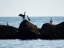 Cormorants at Partaccia