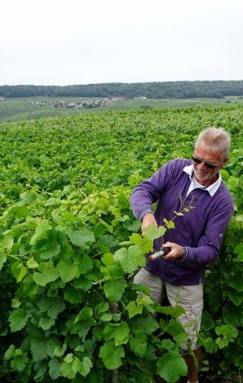 Thinning the Vines at Le Rédempteur